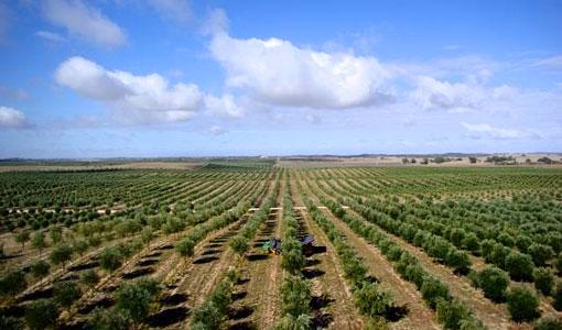 Olive farm in Spain