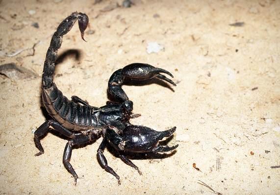 scorpion-tail